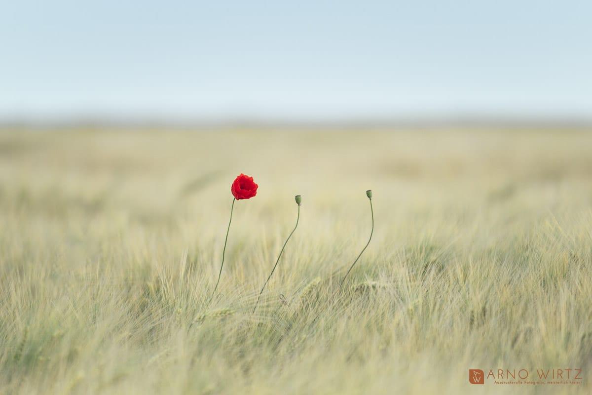 Copyright © 2021 Arno Wirtz - Mohnblumen | Erkeln, Nethetal